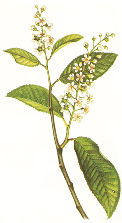 Bird cherry; leaves and flowers